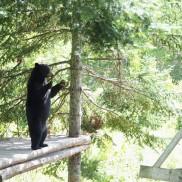 Ours noir du Parc Oméga